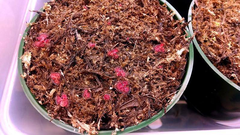 Drosera burmannii seedlings, 3-11-2014