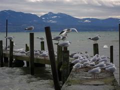 Seagulls 45330825