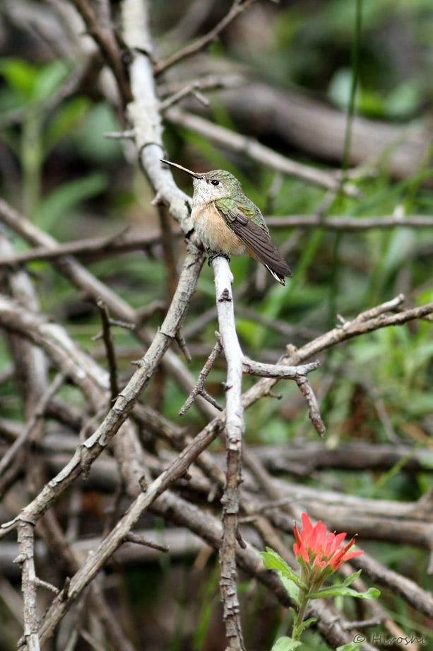 Calliope Hummingbird 041014-5