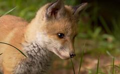 Baby Fox .