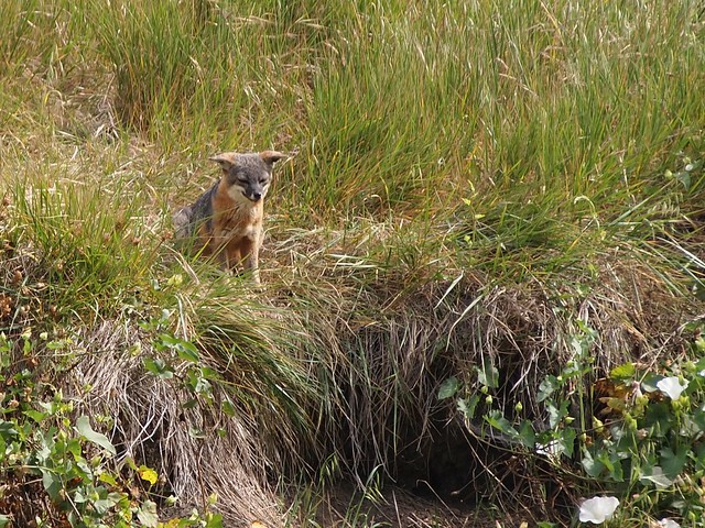 Channel Island Fox on Santa Cruz Island