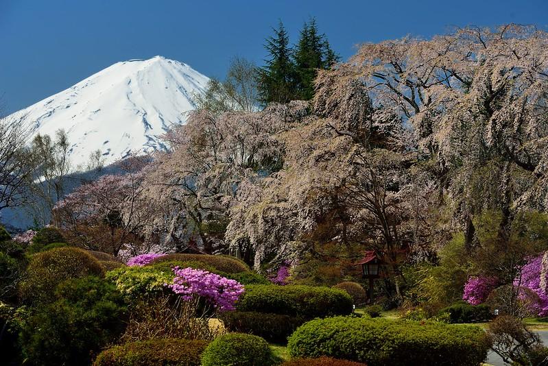 富士ビューホテルの桜2014