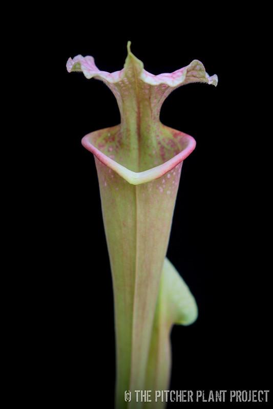 "Sarracenia flava var. maxima x leucophylla ""Burgundy"""