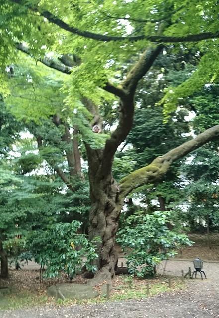 Kyu-Furukawa Garden Tree
