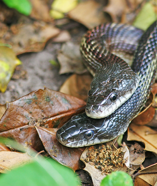 Snakes 20d_1090