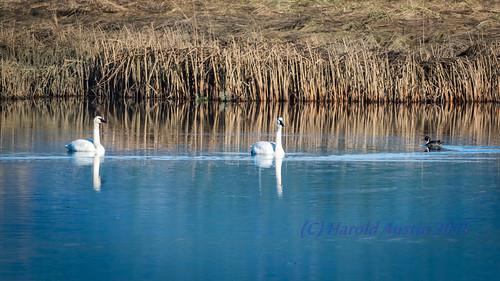 canada birds britishcolumbia wildlife january vancouverisland swans portalberni waterbirds wetland d800 2015 somassestuary northernpintailanusacuta tundraswancygnusbuccinator