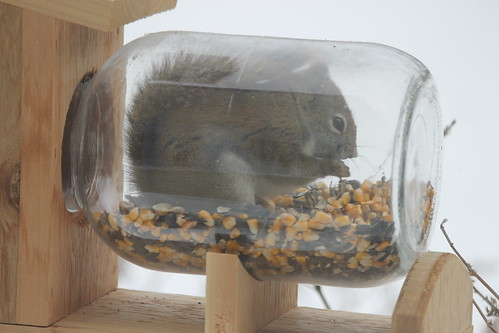 Red Squirrel at My New Squirrel Feeder (Saline, Michigan) - February 14, 2015