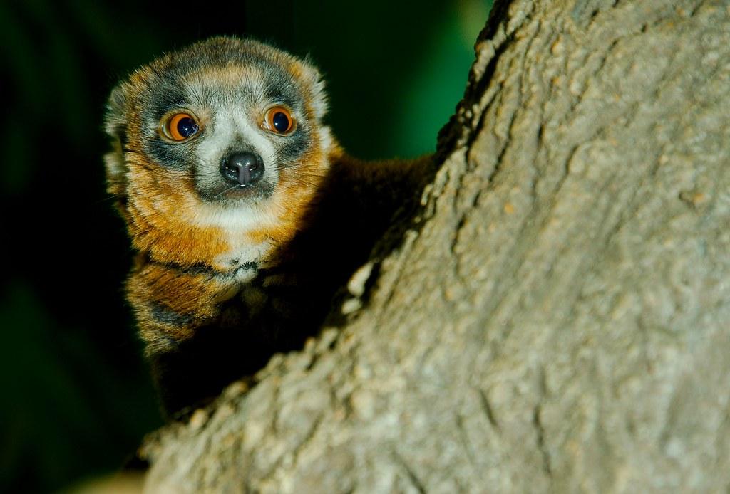 Mongoose Lemur (Eulemur mongoz)_5