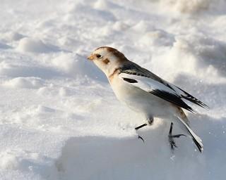 Snow Bunting 2.19.15 8525