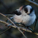 Long Tailed Tit, (Aegithalos caudatus). by PRA Images
