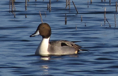 Pintail Anas acuta Tophill Low NR, East Yorkshire January 2015