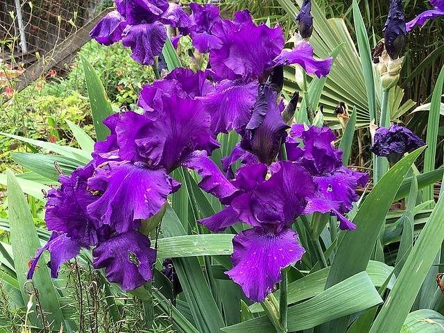 Irises for Isabella