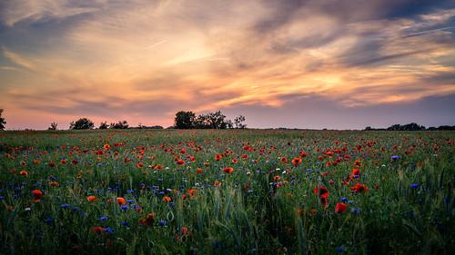 sunset sun nature clouds landscape sonnenuntergang natur wolken poppy poppies landschaft sonne mohn mohnfeld poppyfield sigma30mmf28dn sonyalpha6000