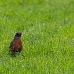 A robin at the NYBG