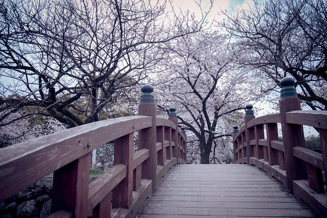 sakura - Oita, Japan