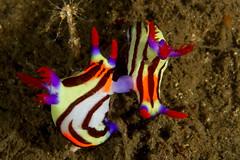 セトリュウグウウミウシ Nembrotha sp. 2