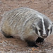 American Badger - Photo (c) Jerry Oldenettel, some rights reserved (CC BY-NC-SA)