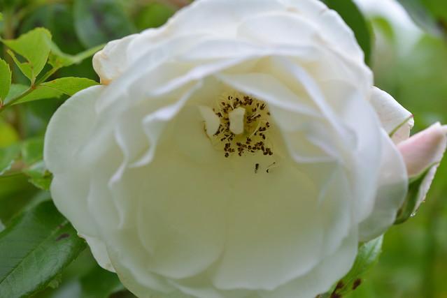 Pollem au fond d'une rose blanche