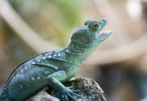 I am a Plumed Basilisk - hear me roar! by San Diego Shooter