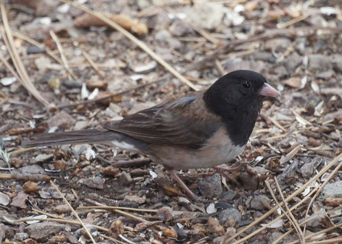 Dark-eyed Junco (Oregon form)