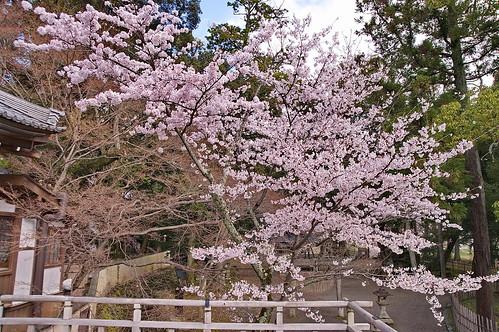 【写真】2013 桜 : 大覚寺/2020-09-15/IMGP9415
