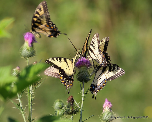 macro closeup butterfly insect virginia unitedstates thistle butterflies danville pollen wildflower pollinator
