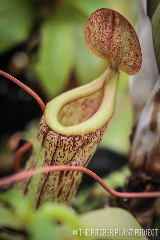 Nepenthes eglantine