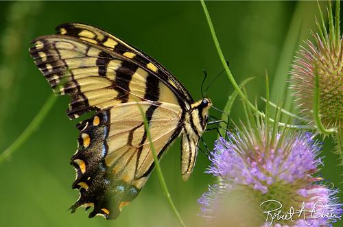 butterfly-kingsport-2013