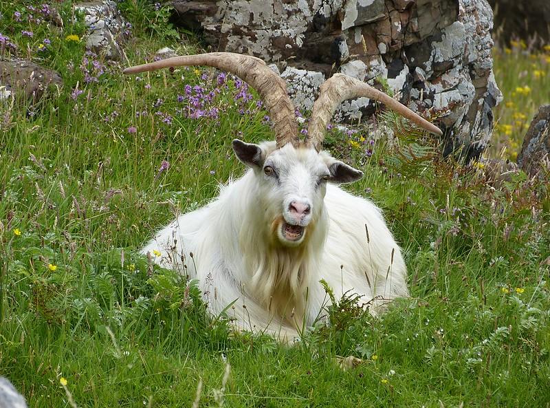 P1050715 - Wild Goat, Isle of Mull