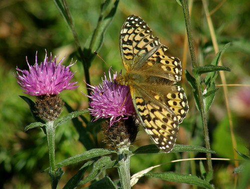 Dark green fritillary VI