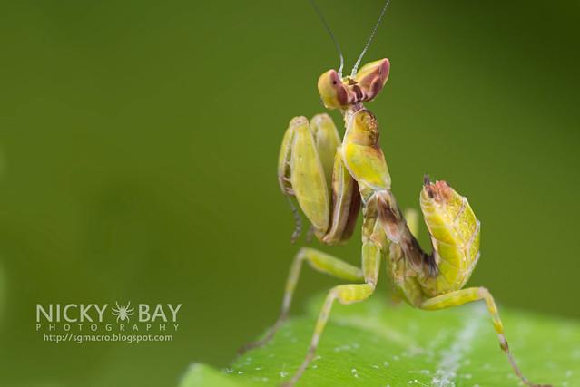 Flower Mantis nymph (Hymenopodidae?) - DSC_3694