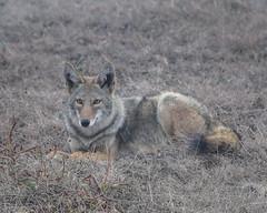 jackal(0.0), grey fox(0.0), kit fox(0.0), animal(1.0), czechoslovakian wolfdog(1.0), gray wolf(1.0), red wolf(1.0), mammal(1.0), fauna(1.0), wolfdog(1.0), dhole(1.0), saarloos wolfdog(1.0), coyote(1.0), wildlife(1.0),