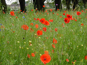 Field of Poppies in France