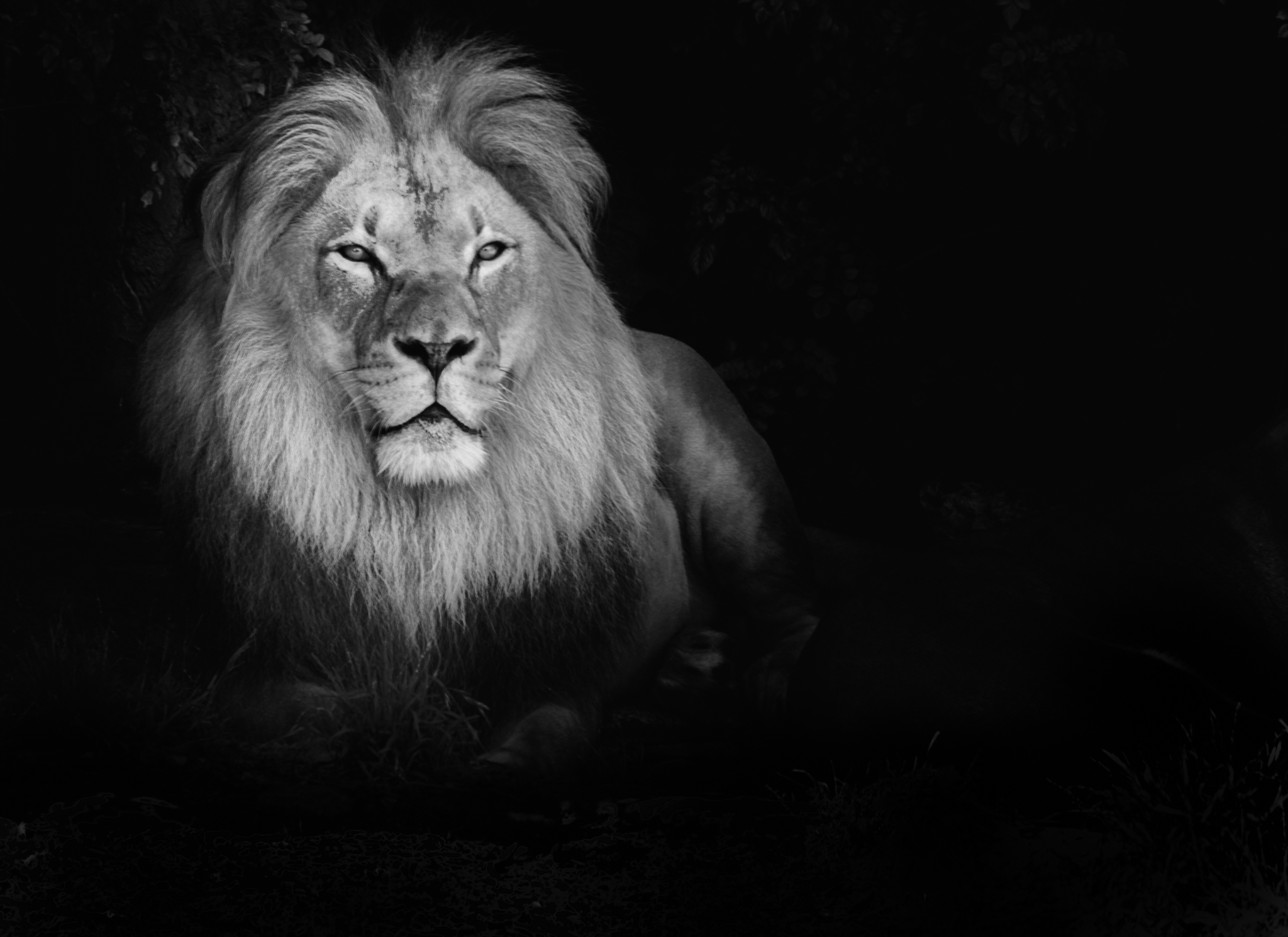 Lion images black and white - photo#6