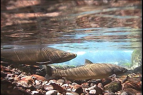 Bull trout spawn in a spring of the Middle Fork Willamette River. They were transferred from the McKenzie River to historic habitats in the Middle Fork. (U.S. Forest Service)