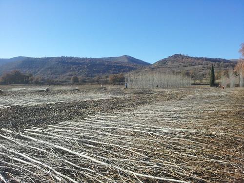 Se presentan los resultados de la prueba piloto de plantación de chopos en la Cuenca de Tremp (Lleida)