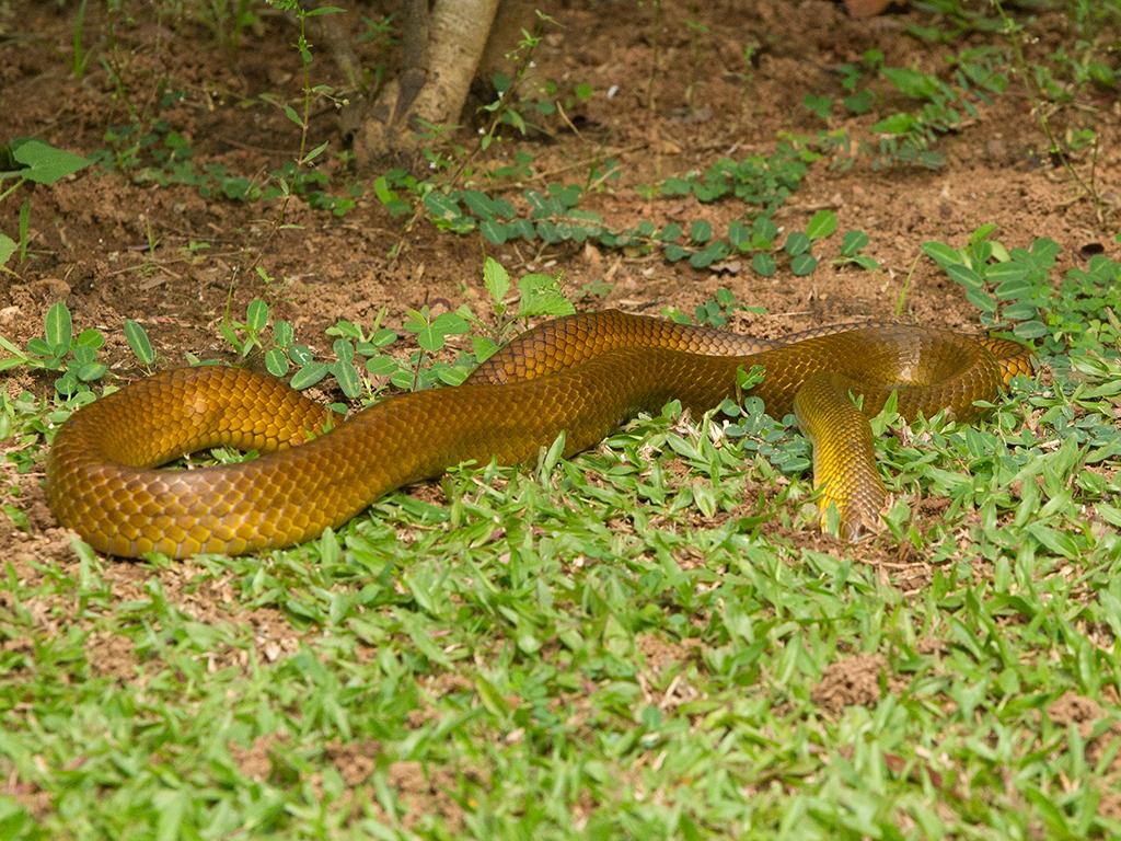 Rat Snake 2013-12-08