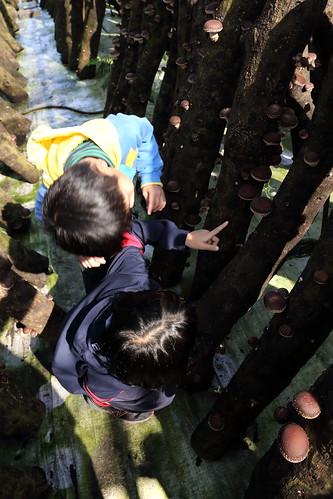 採段木香菇