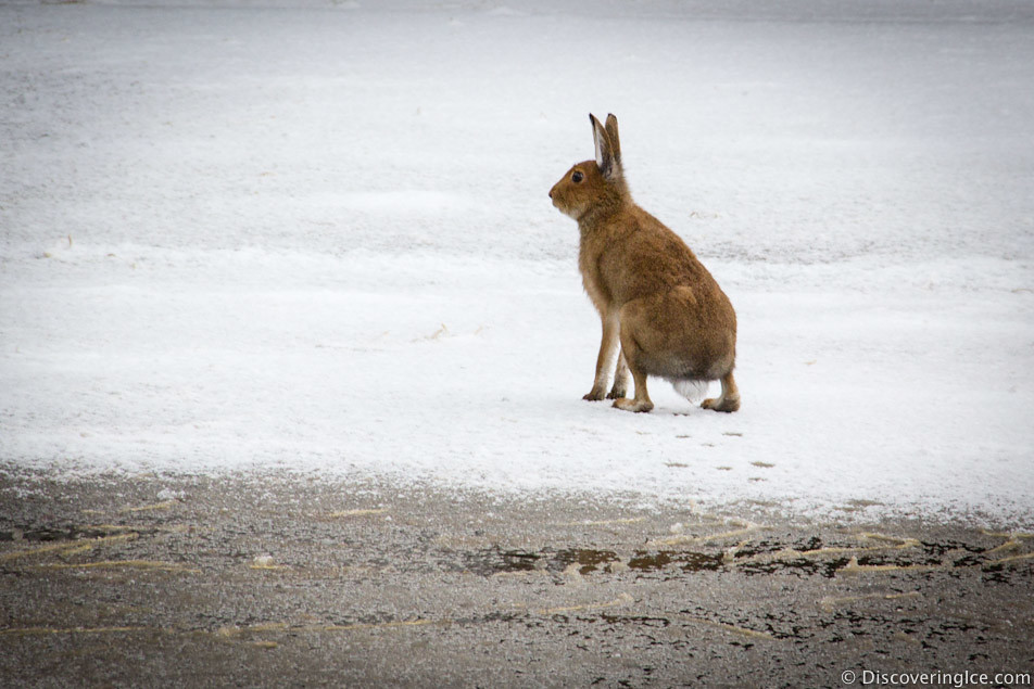 wild hare in the snow 2