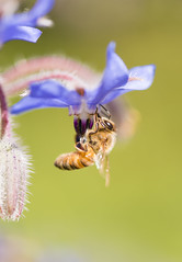 Close up of bee and borage flower
