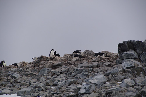 024 Wandeling Halfmoon Island - kinbandpinguins