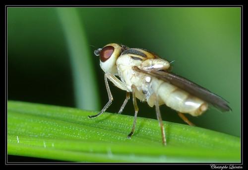 Chlorops sp.