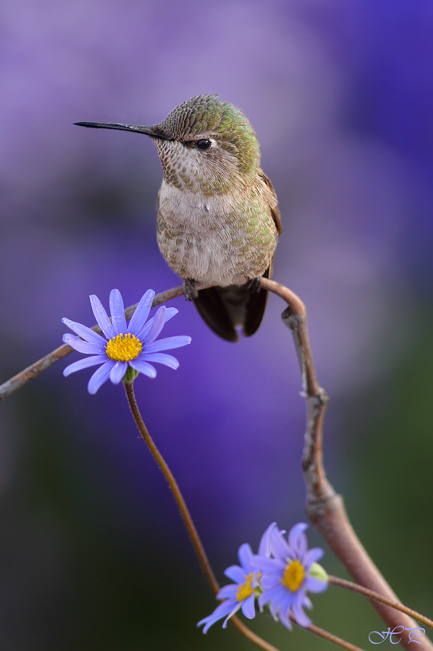Anna's Hummingbird and Blue daisy 040414