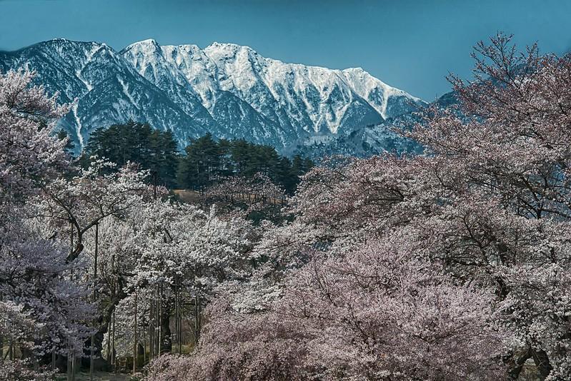 神代桜2014