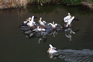 American white pelican, Yakima River