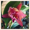 My 1st #cattleya #orchid bloom!