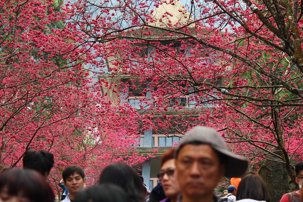 九族櫻花祭 (159)
