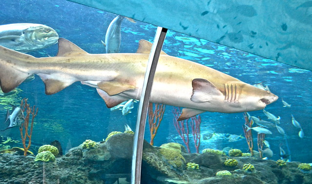 the florida aquarium - shark in large tank