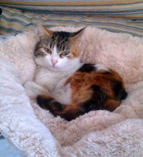 Birra, gatita tricolor muy guapa y dulce, esterilizada y nacida en Febrero'14 busca hogar, Valencia 16522579986_2729671f36_z