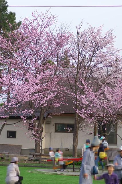 20160503栗山公園桜_02